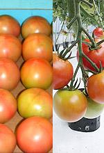 夏秋トマト/契約栽培トマト